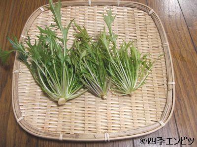 20110123 水菜 収穫