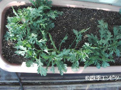 20110115 春菊