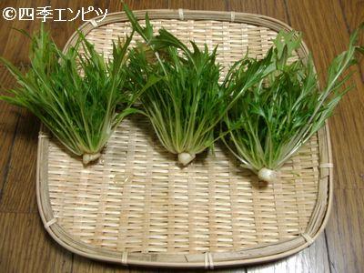 20110129 水菜 収穫