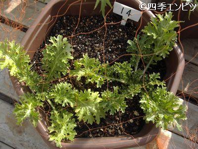 20110129 わさび菜