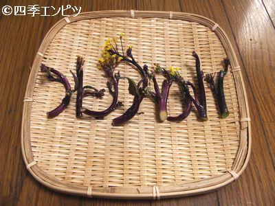 20110206 紅菜苔 収穫