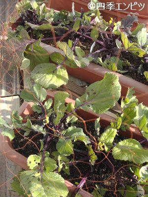 20110129 紅菜苔