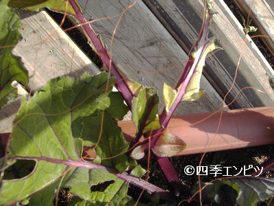20110129 紅菜苔 鳥害 1