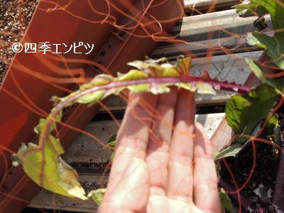 20110129 紅菜苔 鳥害 2