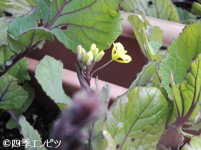 20110206 紅菜苔の花