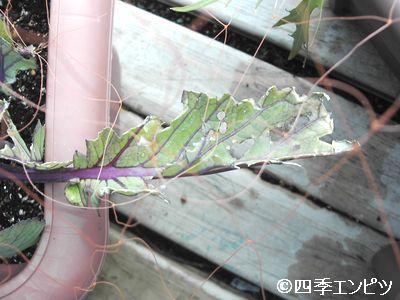 20110206 紅菜苔 鳥害