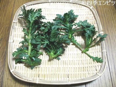 20110206 春菊 収穫