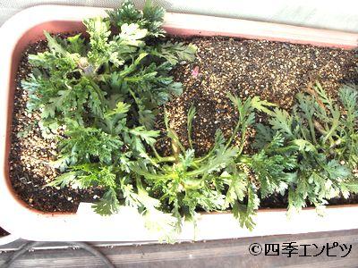 20110129 春菊