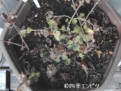 20110206 レモンバーム