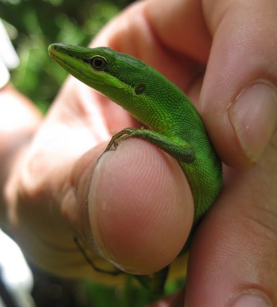 サキシマカナヘビ1