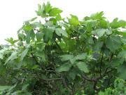 イチジクの樹