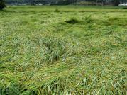 稲が倒されたたんぼ