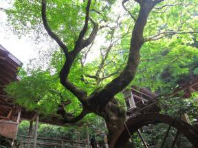 樹齢400年の紅葉の樹