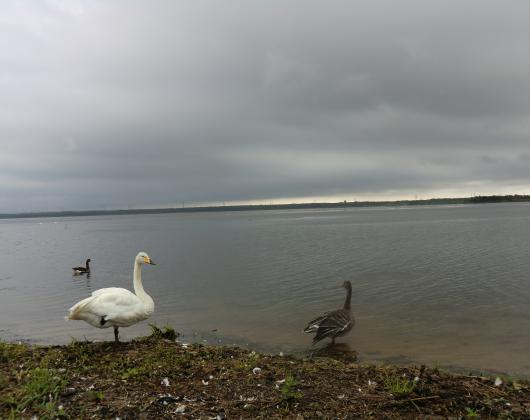 ウトナイ湖白鳥