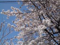 s2012桜 003