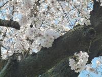 s2012桜004