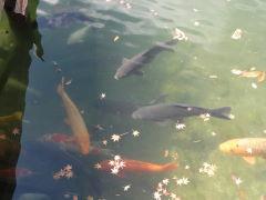 伊奈ヶ湖 魚