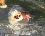 伊奈ヶ湖 鯉