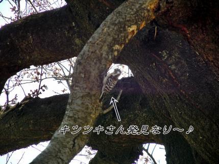 さきたま古墳公園と多々良沼公園の桜☆5