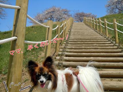 さきたま古墳公園と多々良沼公園の桜☆3