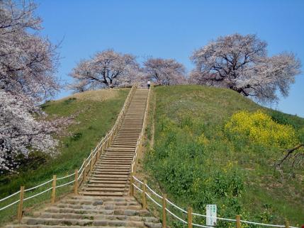 さきたま古墳公園と多々良沼公園の桜☆2