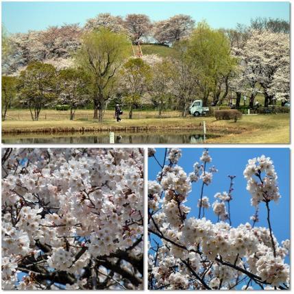 さきたま古墳公園と多々良沼公園の桜☆1