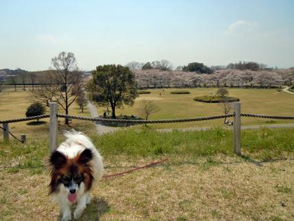 さきたま古墳公園と多々良沼公園の桜☆9