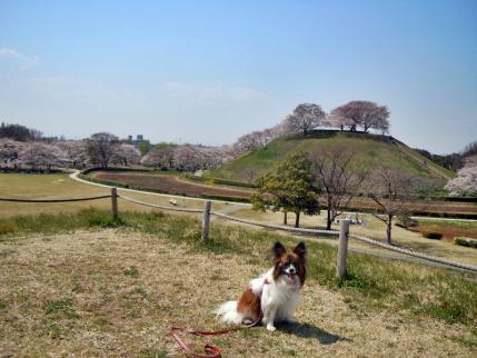 さきたま古墳公園と多々良沼公園の桜☆8