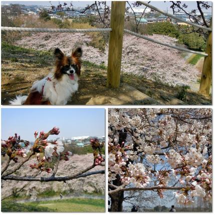 さきたま古墳公園と多々良沼公園の桜☆6
