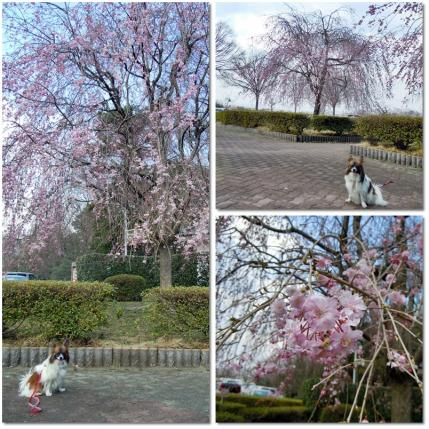さきたま古墳公園と多々良沼公園の桜☆13