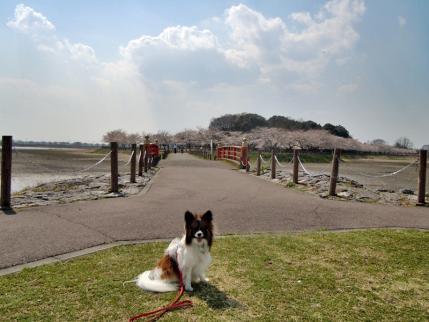 さきたま古墳公園と多々良沼公園の桜☆12
