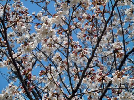 さきたま古墳公園と多々良沼公園の桜☆11