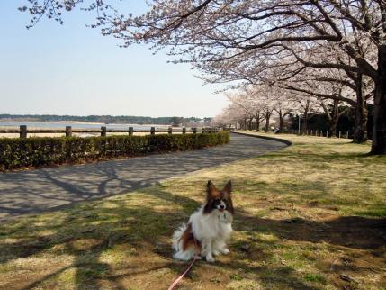 さきたま古墳公園と多々良沼公園の桜☆10