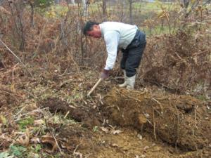 わらび根掘り2
