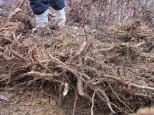 わらび根掘り3
