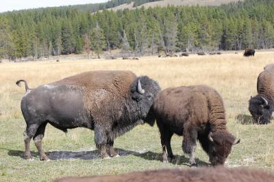 bison 9