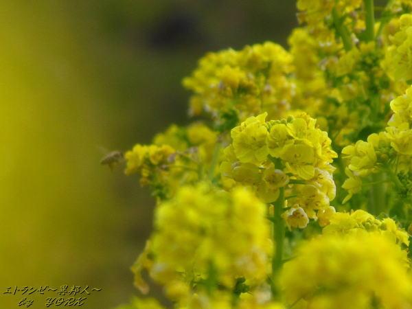 6114菜の花とミツバチ130203.jpg