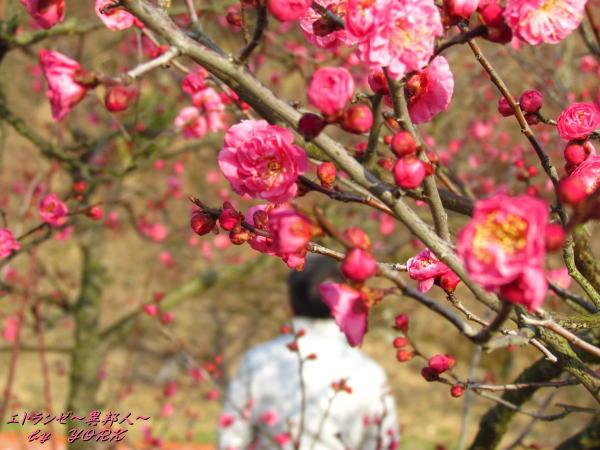 6175早咲きの紅梅と130209.jpg