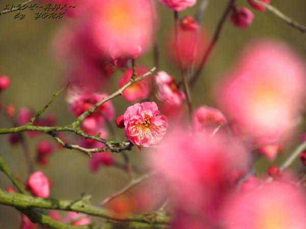 6178早咲きの紅梅前ボケあり130209.jpg