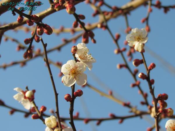 6195青空に白梅咲き始め130209.jpg