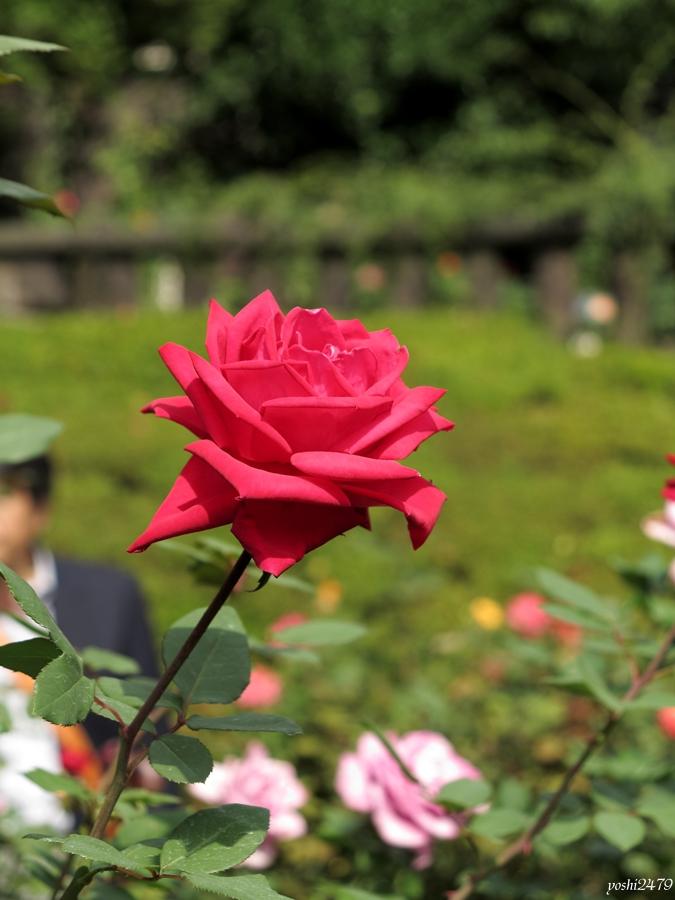 古河庭園バラ0205