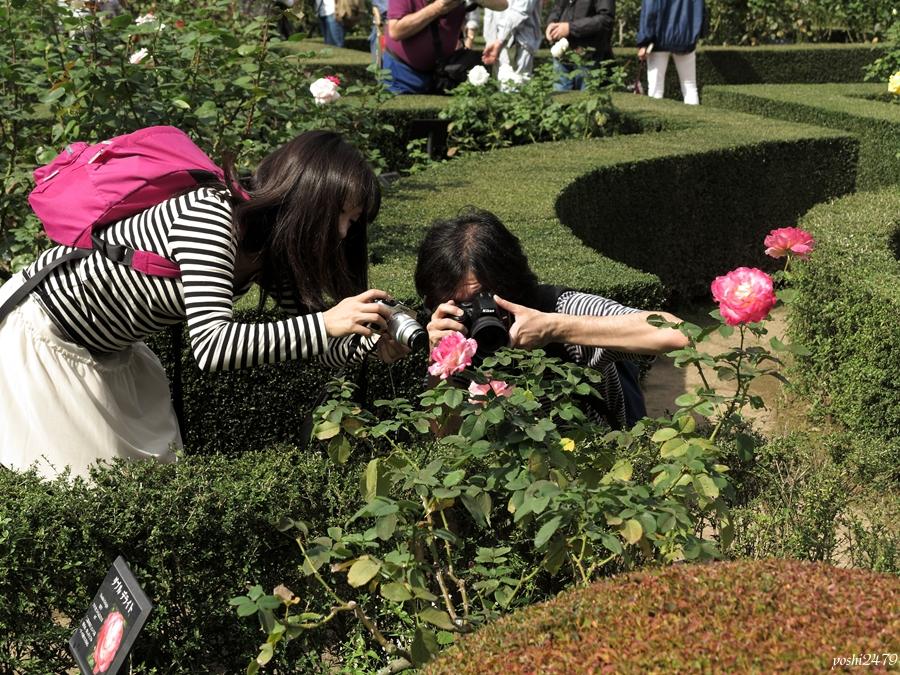 古河庭園バラ0207