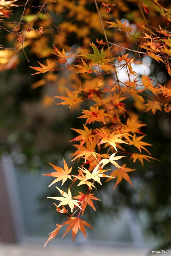 仙台紅葉0204