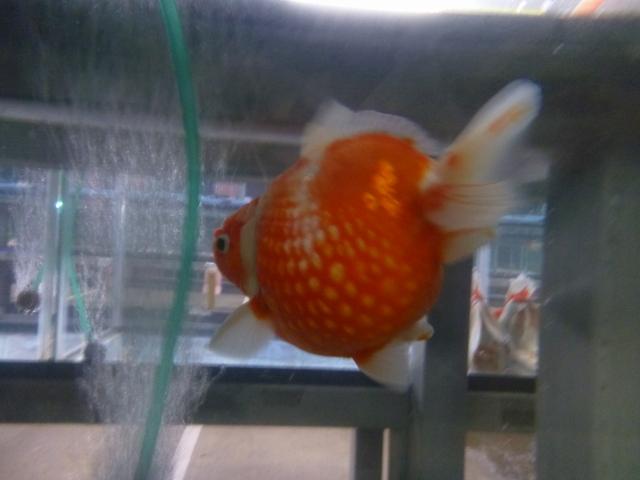 優勝 親魚の部 ピンポンパール