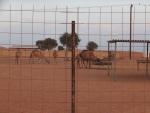砂漠のラクダ(ドバイ)