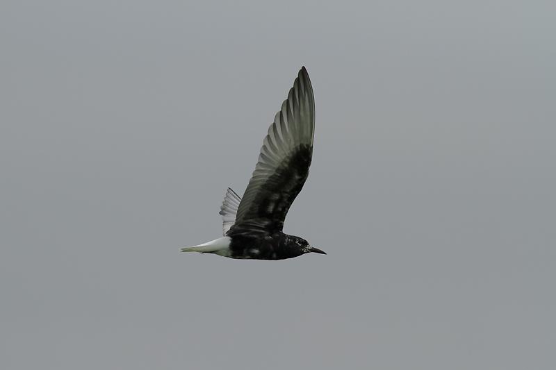 ハジロクロハラアジサシ