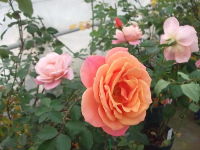 花巻温泉のバラ