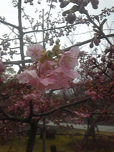 お寺の境内の河津桜