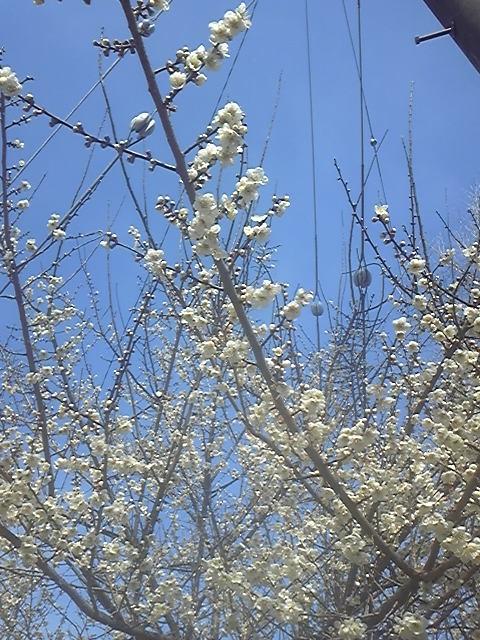 馥郁たる香りの白梅