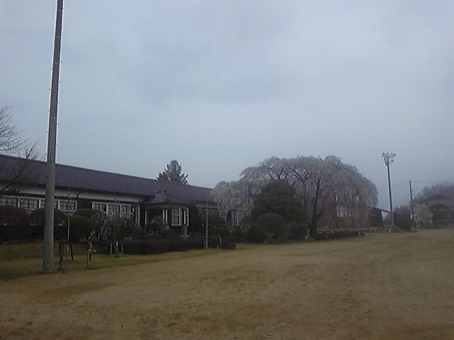 木造校舎に似合う枝垂れ桜